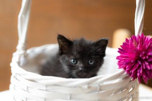 アトリエイエネコ Cat Photographer 41810970865_2d4b05c66a 1日1猫!CaraCatCafe 里親様募集中のうにちゃん! 1日1猫!  里親様募集中 箕面 猫写真 猫カフェ 猫 子猫 大阪 写真 保護猫カフェ 保護猫 スマホ カメラ Kitten Cute cat caracatcafe
