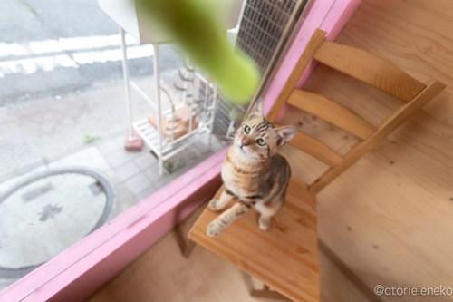 アトリエイエネコ Cat Photographer 28836153118_5c6ce50312 1日1猫!おおさかねこ俱楽部 里親様募集中のブラウニーくん♪ 1日1猫!  里親様募集中 猫写真 猫カフェ 猫 子猫 大阪 初心者 写真 保護猫カフェ 保護猫 カメラ おおさかねこ倶楽部 Kitten Cute cat