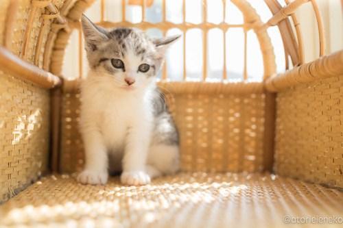 アトリエイエネコ Cat Photographer 41663169474_a816d3d8b0 1日1猫!高槻ねこのおうち まだまだいるよ子猫達! 1日1猫!  高槻ねこのおうち 里親様募集中 猫写真 猫カフェ 猫 子猫 大阪 初心者 写真 保護猫カフェ 保護猫 スマホ キジ猫 カメラ Kitten Cute cat