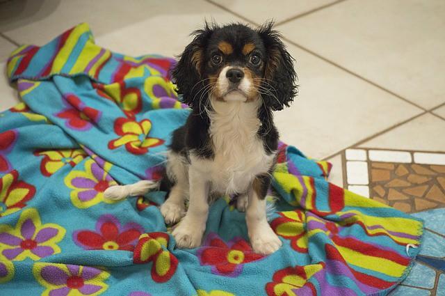 台風を怖がる犬のためのお気に入りのブランケットと犬