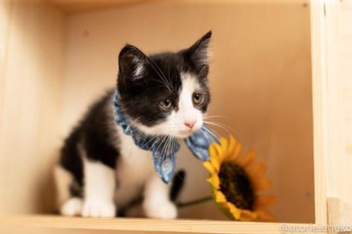 アトリエイエネコ Cat Photographer 28660872858_3347d6406d 1日1猫!おおさかねこ俱楽部 トライアル決定のシオンくん♪ 1日1猫!  里親様募集中 猫写真 猫カフェ 猫 子猫 大阪 初心者 写真 保護猫カフェ 保護猫 ニャンとぴあ カメラ おおさかねこ倶楽部 Kitten Cute cat
