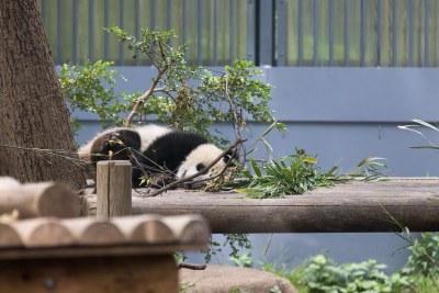 パンダのシャンシャン