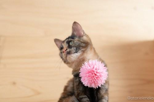 アトリエイエネコ Cat Photographer 28835574068_8d0119984a 1日1猫!おおさかねこ俱楽部 里親様募集中のあややちゃん♪ 1日1猫!  里親様募集中 猫写真 猫カフェ 猫 子猫 大阪 初心者 写真 保護猫カフェ 保護猫 ニャンとぴあ スマホ サビ猫 カメラ おおさかねこ倶楽部 Kitten Cute cat