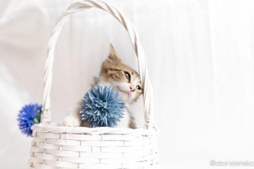 アトリエイエネコ Cat Photographer 27840825917_d8b70d271f 1日1猫!おおさかねこ俱楽部 里親様募集中のロキくん♪ 1日1猫!  里親様募集中 猫写真 猫カフェ 猫 子猫 大阪 初心者 写真 保護猫カフェ 保護猫 ニャンとぴあ スマホ カメラ おおさかねこ倶楽部 Kitten Cute cat