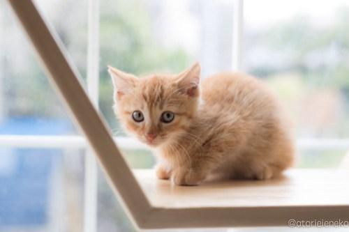 アトリエイエネコ Cat Photographer 41484306655_80c39286e7 1日1猫!高槻ねこのおうち まだまだいるよ子猫達! 1日1猫!  高槻ねこのおうち 里親様募集中 猫写真 猫カフェ 猫 子猫 大阪 初心者 写真 保護猫カフェ 保護猫 サビ猫 Kitten Cute cat