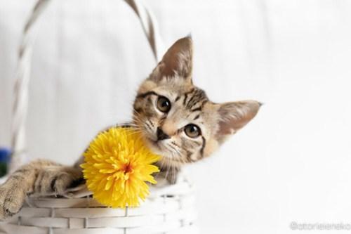 アトリエイエネコ Cat Photographer 41991302084_b800c61a20 1日1猫!おおさかねこ俱楽部 里親様募集中のハタくん♪ 1日1猫!  里親様募集中 猫写真 猫カフェ 猫 子猫 大阪 初心者 写真 保護猫カフェ 保護猫 ニャンとぴあ キジ猫 おおさかねこ倶楽部 Kitten Cute cat
