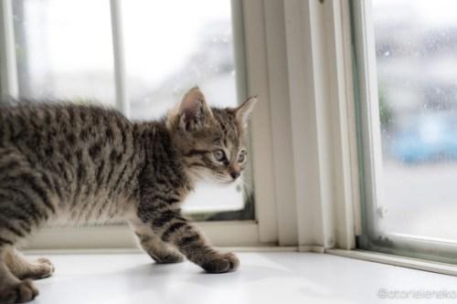 アトリエイエネコ Cat Photographer 41484312225_f5a84f6809 1日1猫!高槻ねこのおうち まだまだいるよ子猫達! 1日1猫!  高槻ねこのおうち 里親様募集中 猫写真 猫カフェ 猫 子猫 大阪 初心者 写真 保護猫カフェ 保護猫 サビ猫 Kitten Cute cat