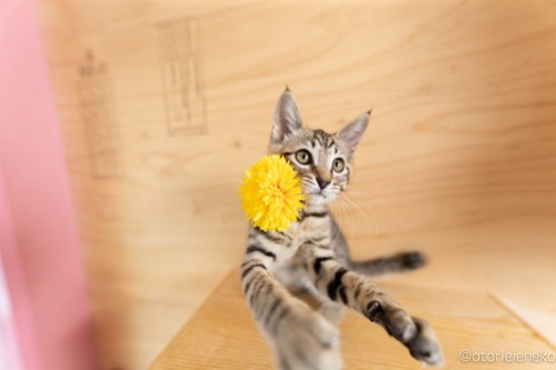 アトリエイエネコ Cat Photographer 41991255074_6c2fa3401a 1日1猫!おおさかねこ俱楽部 里親様募集中のハタくん♪ 1日1猫!  里親様募集中 猫写真 猫カフェ 猫 子猫 大阪 初心者 写真 保護猫カフェ 保護猫 ニャンとぴあ キジ猫 おおさかねこ倶楽部 Kitten Cute cat
