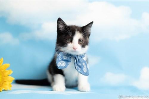 アトリエイエネコ Cat Photographer 28660873938_6aff043ce8 1日1猫!おおさかねこ俱楽部 トライアル決定のシオンくん♪ 1日1猫!  里親様募集中 猫写真 猫カフェ 猫 子猫 大阪 初心者 写真 保護猫カフェ 保護猫 ニャンとぴあ カメラ おおさかねこ倶楽部 Kitten Cute cat