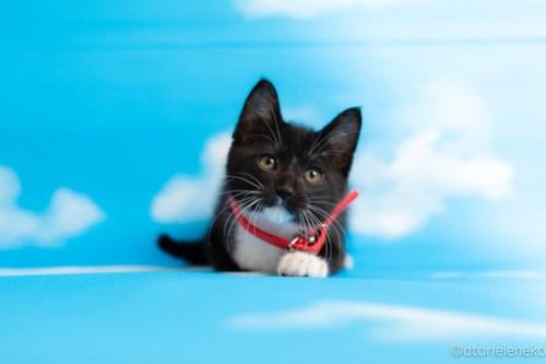 アトリエイエネコ Cat Photographer 42794816982_c0c13212c3 1日1猫!おおさかねこ俱楽部 里親様募集中のキャッチくん♪ 1日1猫!  里親様募集中 猫写真 猫カフェ 猫 子猫 大阪 初心者 写真 保護猫カフェ 保護猫 ニャンとぴあ スマホ カメラ おおさかねこ倶楽部 Kitten Cute cat