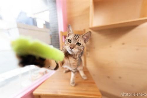 アトリエイエネコ Cat Photographer 28836136368_04dcb82386 1日1猫!おおさかねこ俱楽部 里親様募集中のブラウニーくん♪ 1日1猫!  里親様募集中 猫写真 猫カフェ 猫 子猫 大阪 初心者 写真 保護猫カフェ 保護猫 カメラ おおさかねこ倶楽部 Kitten Cute cat