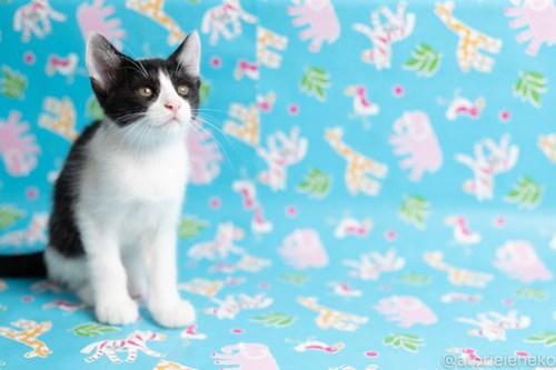 アトリエイエネコ Cat Photographer 42534354131_c8419d277d 1日1猫!保護猫カフェねこんチ子猫祭り(6/2)に行ってきた(その1)♪ 1日1猫!  里親様募集中 猫カフェ 猫 子猫 大阪 初心者 写真 保護猫カフェねこんチ 保護猫カフェ 保護猫 スマホ カメラ Kitten Cute cat