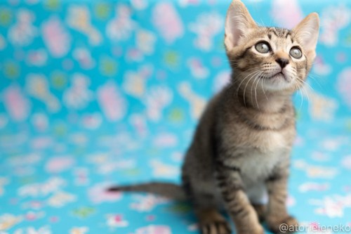 アトリエイエネコ Cat Photographer 41811542634_e5256053b5 1日1猫!保護猫カフェねこんチ子猫祭り(6/2)に行ってきた(その3)♪ 1日1猫!  里親様募集中 猫写真 猫カフェ 猫 子猫 大阪 写真 保護猫カフェねこんチ 保護猫カフェ 保護猫 スマホ カメラ Kitten Cute cat