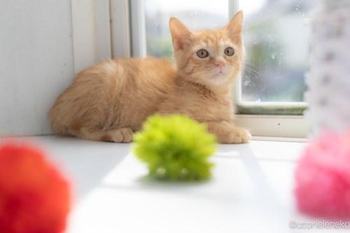 アトリエイエネコ Cat Photographer 28406203987_b3cc64b9ae 1日1猫!高槻ねこのおうち 里親様募集中のけんちゃん♪ 1日1猫!  高槻ねこのおうち 里親様募集中 茶トラ 猫写真 猫カフェ 猫 子猫 大阪 初心者 写真 保護猫カフェ 保護猫 カメラ Kitten Cute cat