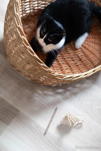 アトリエイエネコ Cat Photographer 28107855117_971f81efd3 1日1猫!保護猫カフェけやきさんに又又行って来た!(2/2) 1日1猫!  里親様募集中 猫写真 猫カフェ 猫 子猫 大阪 初心者 写真 保護猫カフェけやき 保護猫カフェ 保護猫 スマホ カメラ Kitten Cute cat