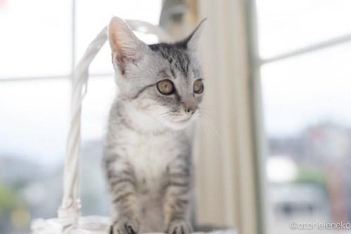 アトリエイエネコ Cat Photographer 28406249257_3abdee8c8b 1日1猫!高槻ねこのおうち 里親様募集中のガラシャちゃん♪ 1日1猫!  高槻ねこのおうち 里親様募集中 猫写真 猫カフェ 猫 子猫 大阪 初心者 写真 保護猫 スマホ キジ猫 カメラ Kitten Cute cat