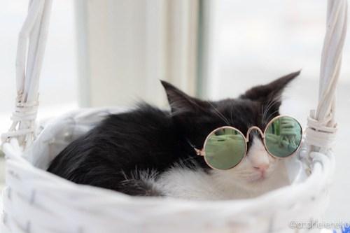 アトリエイエネコ Cat Photographer 42557183494_bb08a65322 1日1猫!高槻ねこのおうち 里親様募集中のけんちゃん♪ 1日1猫!  高槻ねこのおうち 里親様募集中 猫写真 猫カフェ 猫 子猫 大阪 写真 ハチワレ Kitten Cute cat