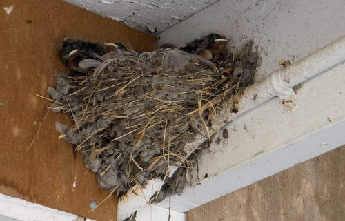 Fledging Swifts-001