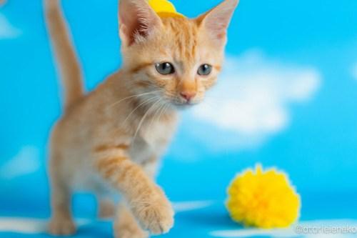 アトリエイエネコ Cat Photographer 43248362781_64c463bef7 1日1猫!おおさかねこ俱楽部 里親様募集中のグレイスちゃん♪ 1日1猫!  里親様募集中 猫写真 猫カフェ 猫 子猫 大阪 初心者 写真 保護猫カフェ 保護猫 ニャンとぴあ スマホ カメラ おおさかねこ倶楽部 Kitten Cute cat