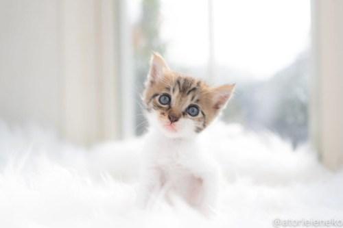 アトリエイエネコ Cat Photographer 43073461365_de92e543b7 1日1猫!高槻ねこのおうち 里活中のなみちゃん♪ 1日1猫!  高槻ねこのおうち 里親様募集中 猫写真 猫カフェ 猫 子猫 大阪 初心者 写真 保護猫 Kitten Cute cat