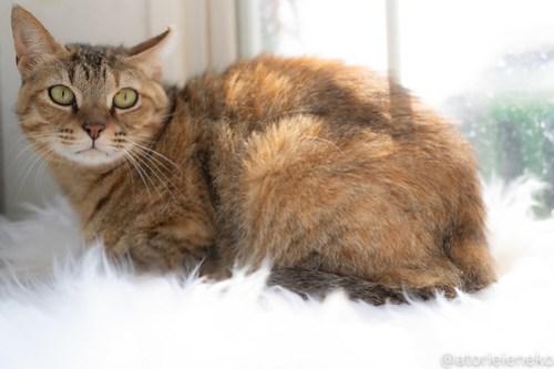 アトリエイエネコ Cat Photographer 29040960847_f58613b378 1日1猫!高槻ねこのおうち 里活中のアッコちゃん♪ 1日1猫!  高槻ねこのおうち 里親様募集中 茶トラ 猫写真 猫カフェ 猫 子猫 大阪 写真 保護猫カフェ 保護猫 スマホ カメラ Kitten Cute cat