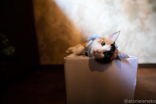アトリエイエネコ Cat Photographer 42951387335_9ae3747ef5 1日1猫!保護猫カフェウリエルへ行ってきた(1/2)♪ 1日1猫!  里親様募集中 猫写真 猫カフェ 猫 大阪 初心者 写真 保護猫カフェウリエル 保護猫カフェ 保護猫 中崎町 スマホ カメラ ウリエル Kitten Cute cat