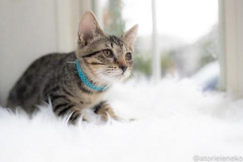 アトリエイエネコ Cat Photographer 43073356165_1031ee490d 1日1猫!高槻ねこのおうち 里活中のロクちゃん♪ 1日1猫!  高槻ねこのおうち 里親様募集中 猫写真 猫カフェ 猫 子猫 大阪 初心者 写真 保護猫カフェ 保護猫 スマホ キジ猫 キジ Kitten Cute cat