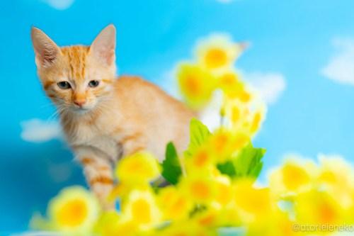 アトリエイエネコ Cat Photographer 28379282217_155dcf3dd0 1日1猫!おおさかねこ俱楽部 里親様募集中のグレイスちゃん♪ 1日1猫!  里親様募集中 猫写真 猫カフェ 猫 子猫 大阪 初心者 写真 保護猫カフェ 保護猫 ニャンとぴあ スマホ カメラ おおさかねこ倶楽部 Kitten Cute cat
