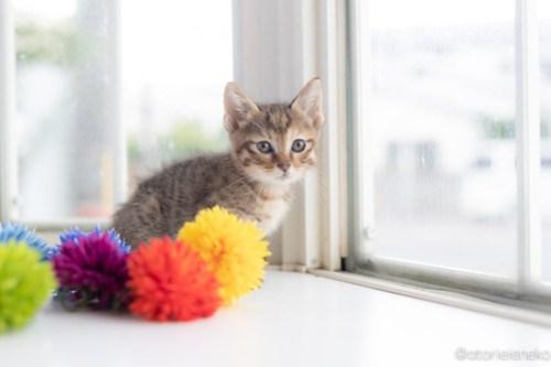 アトリエイエネコ Cat Photographer 42371164695_4b135589eb 1日1猫!高槻ねこのおうち 里親様募集中のろこちゃん♪ 1日1猫!  高槻ねこのおうち 里親様募集中 猫写真 猫カフェ 猫 子猫 大阪 初心者 写真 保護猫カフェ 保護猫 キジ猫 Kitten Cute cat
