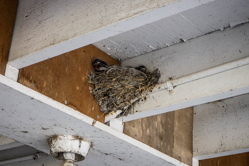 Fledging Swifts