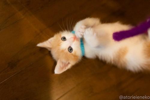 アトリエイエネコ Cat Photographer 41595667520_0038125380 1日1猫!CaraCatCafe天使に会いに行って来ました♪ 1日1猫!  里親様募集中 猫 子猫 大阪 初心者 写真 保護猫カフェ 保護猫 スマホ カメラ Kitten Cute cat caracatcafe