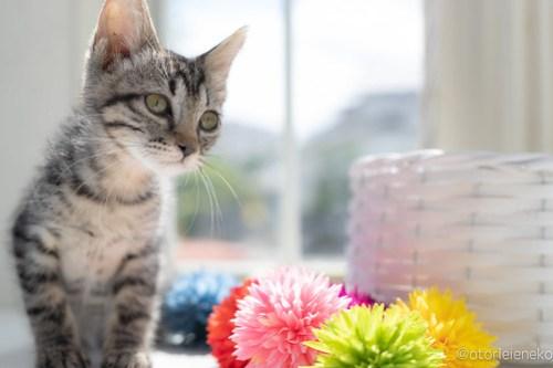 アトリエイエネコ Cat Photographer 42557231904_ccf6fd9b95 1日1猫!高槻ねこのおうち 里親様募集中のりうちゃん♪ 1日1猫!  高槻ねこのおうち 里親様募集中 猫写真 猫 子猫 大阪 保護猫カフェ 保護猫 スマホ キジ猫 カメラ Kitten Cute cat