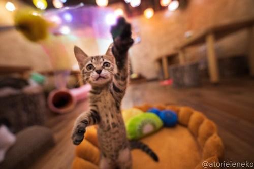 アトリエイエネコ Cat Photographer 42046530150_6d551e63a5 1日1猫!保護猫カフェウリエルへ行ってきた(1/2)♪ 1日1猫!  里親様募集中 猫写真 猫カフェ 猫 大阪 初心者 写真 保護猫カフェウリエル 保護猫カフェ 保護猫 中崎町 スマホ カメラ ウリエル Kitten Cute cat