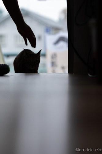 アトリエイエネコ Cat Photographer 42078628615_cedddbb6f8 1日1猫!保護猫カフェけやきさんに又又行って来た!(1/2) 1日1猫!  里親様募集中 猫写真 猫カフェ 猫 子猫 大阪 初心者 写真 保護猫カフェけやき 保護猫カフェ 保護猫 カメラ Kitten Cute cat