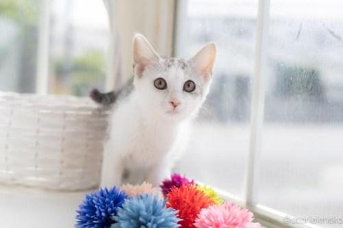 アトリエイエネコ Cat Photographer 28406256817_4d22333224 1日1猫!高槻ねこのおうち 里親様募集中のジェリーちゃん♪ 1日1猫!  高槻ねこのおうち 里親様募集中 猫写真 猫カフェ 猫 子猫 大阪 初心者 写真 保護猫カフェ 保護猫 スマホ カメラ Kitten Cute cat