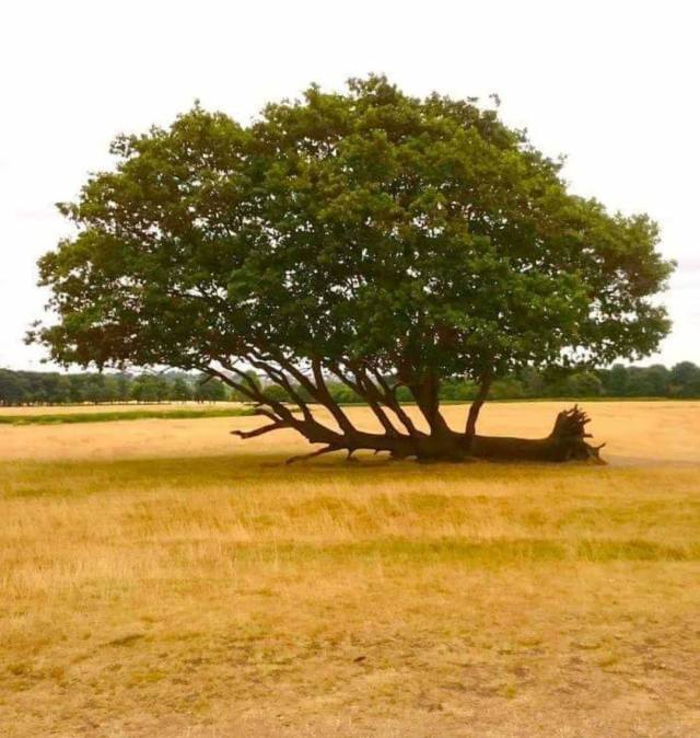 árbol caído creciendo
