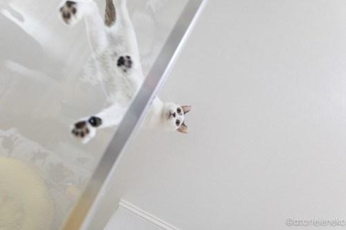 アトリエイエネコ Cat Photographer 28111653097_8a6ced87e3 1日1猫!保護猫カフェけやきさんに又又行って来た!(1/2) 1日1猫!  里親様募集中 猫写真 猫カフェ 猫 子猫 大阪 初心者 写真 保護猫カフェけやき 保護猫カフェ 保護猫 カメラ Kitten Cute cat