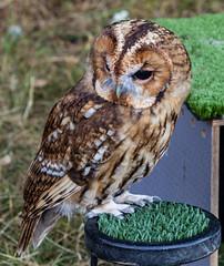 LI18-28 Tawny Owl on show