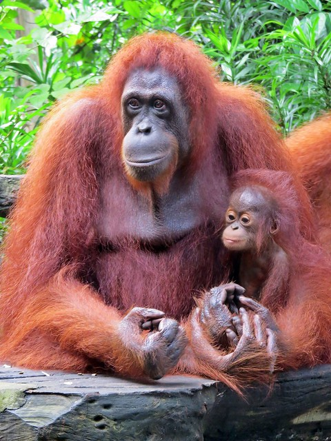6a. Singapore Zoo with Transfer and Optional Breakfast with Orangutans