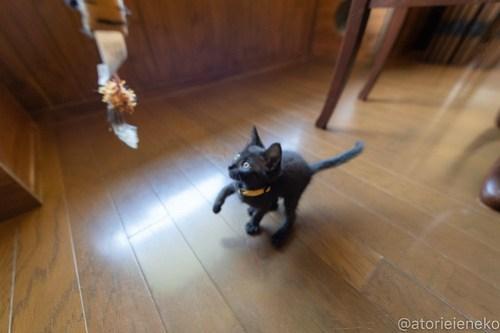 アトリエイエネコ Cat Photographer 42499472785_70e80953bc 1日1猫!CaraCatCafe天使に会いに行って来ました♪ 1日1猫!  里親様募集中 猫 子猫 大阪 初心者 写真 保護猫カフェ 保護猫 スマホ カメラ Kitten Cute cat caracatcafe
