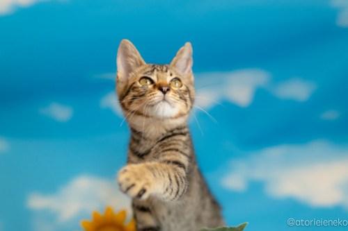 アトリエイエネコ Cat Photographer 29378157668_d975f43561 1日1猫!おおさかねこ俱楽部 里親様募集中のあややちゃん♪ 1日1猫!  里親様募集中 猫写真 猫カフェ 猫 子猫 初心者 写真 保護猫カフェ 保護猫 ニャンとぴあ スマホ キジ猫 カメラ おおさかねこ倶楽部 Kitten Cute cat