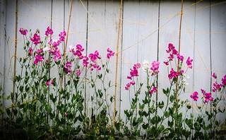 Yard Sweet Peas-001