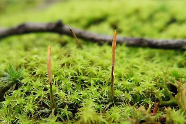 Polytrichum juniperinum and Leptodontium paradoxum
