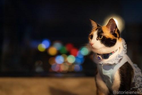 アトリエイエネコ Cat Photographer 42046531540_47fa660d69 1日1猫!保護猫カフェウリエルへ行ってきた(1/2)♪ 1日1猫!  里親様募集中 猫写真 猫カフェ 猫 大阪 初心者 写真 保護猫カフェウリエル 保護猫カフェ 保護猫 中崎町 スマホ カメラ ウリエル Kitten Cute cat