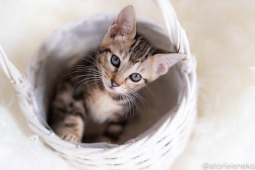 アトリエイエネコ Cat Photographer 30286106588_e0882c4f7e 1日1猫!しっぽ天使さん 里活中の黍「きび」♀生後2ヶ月 3/4♪ 1日1猫!  高槻ねこのおうち 高槻 里親様募集中 猫写真 猫カフェ 猫 子猫 大阪 初心者 写真 保護猫 スマホ キジ猫 しっぽ天使 Kitten Cute cat