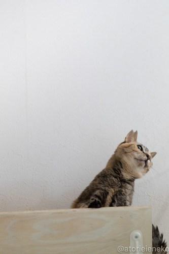 アトリエイエネコ Cat Photographer 44104658972_4c160a6b25 1日1猫!しっぽ天使さんの「猫舎」に行ってきた 1/2♪ 1日1猫!  高槻 里親様募集中 猫写真 猫カフェ 猫 子猫 大阪 初心者 写真 保護猫 キジ猫 カメラ しっぽ天使 Kitten Cute cat