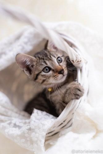 アトリエイエネコ Cat Photographer 30286105648_c4aac54488 1日1猫!しっぽ天使さん 里活中の麦「むぎ」♀生後2ヶ月 2/4♪ 1日1猫!  高槻ねこのおうち 高槻 里親様募集中 猫写真 猫カフェ 猫 子猫 大阪 初心者 写真 保護猫カフェ 保護猫 スマホ キジ猫 カメラ しっぽ天使 Kitten Cute cat