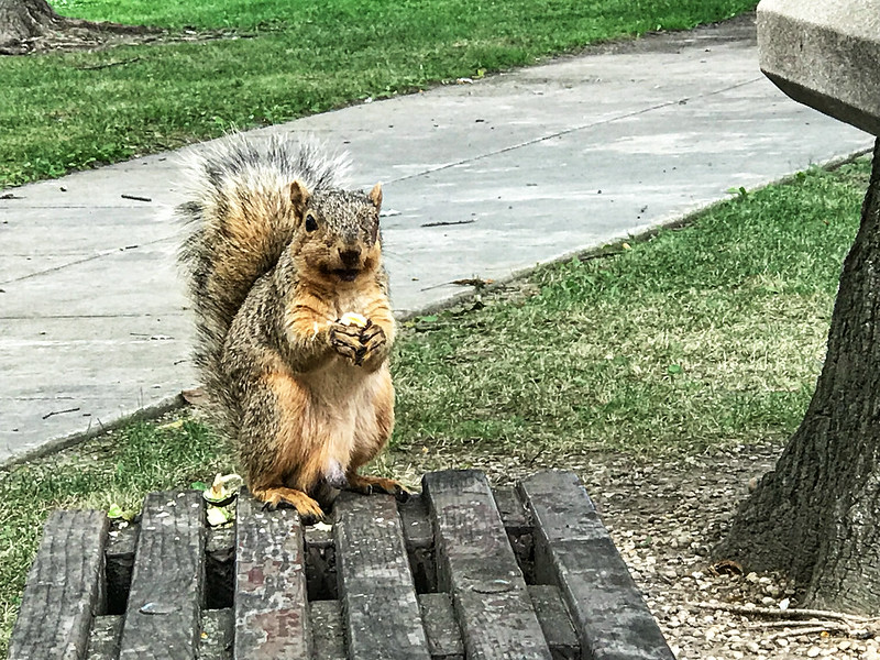 Hungry squirrel at I80 Three Rivers rest stop