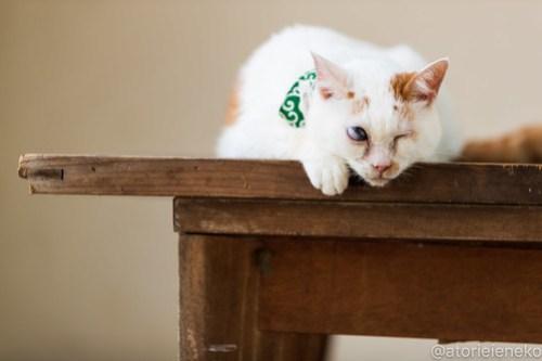アトリエイエネコ Cat Photographer 30125466638_ffdf722282 1日1猫! 8/12しっぽ天使&高槻ねこのおうち(第三回 猫・雑貨店&里親探し) 1日1猫!  高槻ねこのおうち 里親様募集中 譲渡会 猫写真 猫カフェ 猫 子猫 大阪 写真 保護猫 しっぽ天使 Kitten Cute cat 24節記