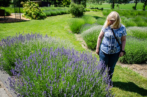 Purple Haze Lavender Farm-005